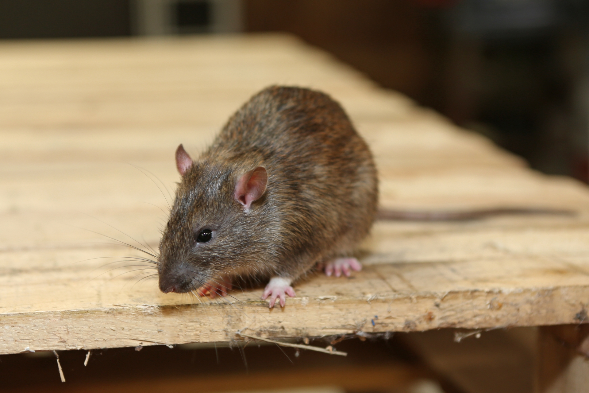 Rat extermination, Pest Control in Hither Green, SE13. Call Now 020 8166 9746