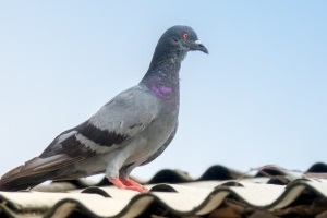Pigeon Pest, Pest Control in Hither Green, SE13. Call Now 020 8166 9746