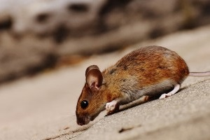 Mouse extermination, Pest Control in Hither Green, SE13. Call Now 020 8166 9746